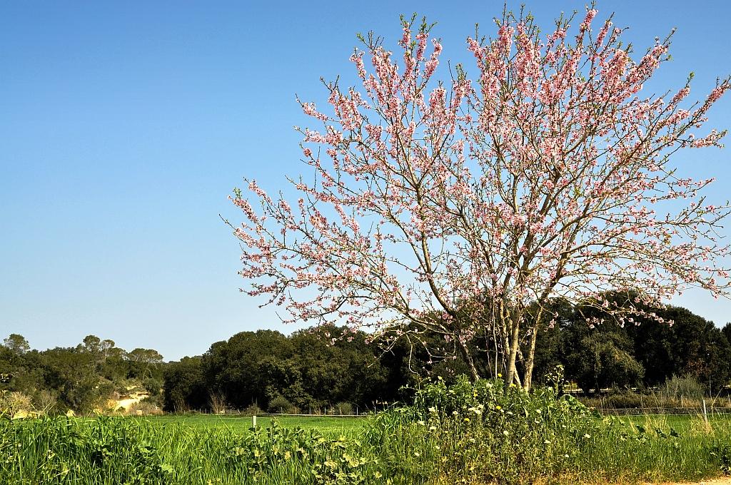 Mandelbäumchen auf Mallorca