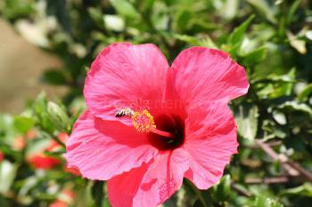 Hibiscusblüten