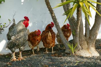 Hühner und Hahn auf der Finca