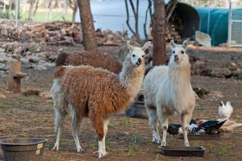 Lamas etc auf dem Nachbargrundstück