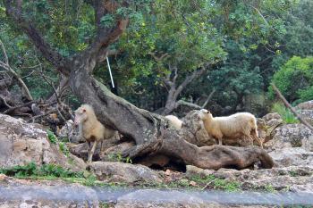 Schafe, Ziegen und Bio-Garten