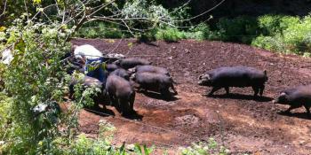 Schwarze Schweine